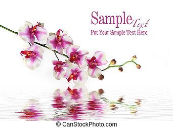 wasser, einzelne blume, orchid stamm