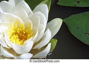 Wasserlilie