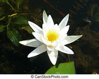 Wasserlily