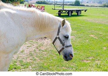 Weißes Pferde-Porträt im Freien Wiese