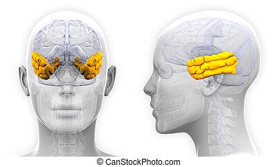 Weibliche Gehirnanatomie - isoliert auf weiß.