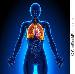 weibliche , lungen, -, koerperbau, menschliche , organe