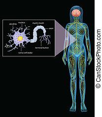 Weibliche Neuron.