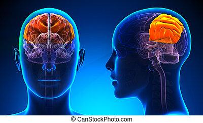 Weibliche Parietallappen Gehirn Anatomie - blaues Konzept.