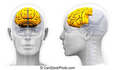 Weibliche Stirnlappen-Hirn-Anatomie - isoliert auf weiß.