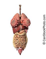 Weibliche volle innere Organe, Frontansicht.