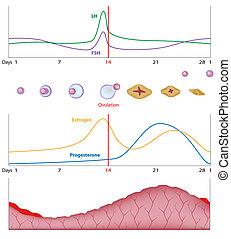 Weiblicher sexueller Zyklus, Eps10