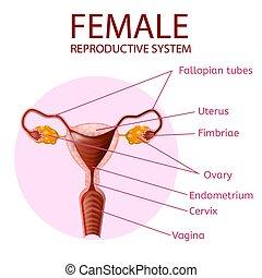 Weibliches Fortpflanzungssystem. Menschliches Anatomie-Banner
