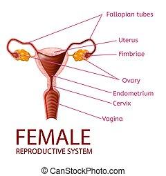 Weibliches reproduktives System gynäkologisches Banner