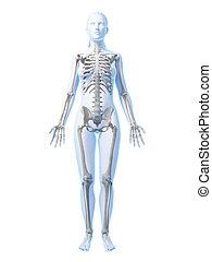 Weibliches Skelett.
