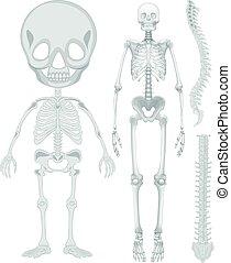 wesen, skelettartiges system, menschliche