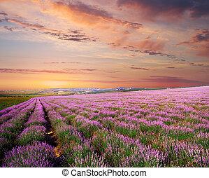 Wiese aus Lavendel