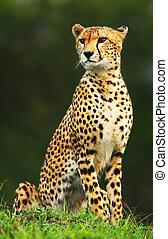 Wild afrikanischer Gepard