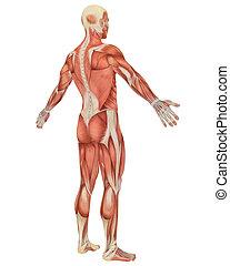 winklig, muskulös, koerperbau, mann, hintere ansicht