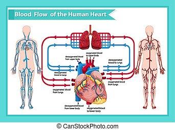 wissenschaftlich, medizin, fließen, abbildung, blut, menschliche