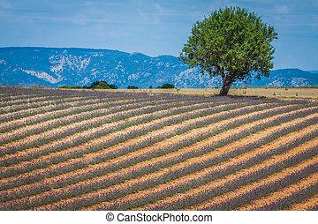 Wunderschöne Landschaft des blühenden Lavendelfeldes, einsamer Baum am Horizont. Provence, Frankreich, Europa.