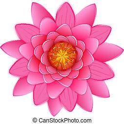 Wunderschöne rosa Lotus oder wasserlähmende Blume isoliert.
