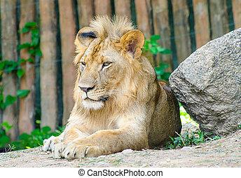 Wunderschöner männlicher Löwe.