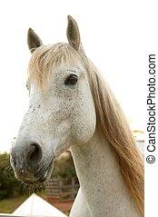 Wunderschönes weißes Pferd schaut in die Kamera