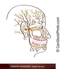 Zähnenerven