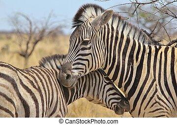 Zebra - Tierliebe.