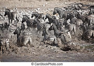 Zebras laufen.