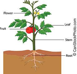 Zeigt die Teile einer Tomatenpflanze.