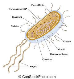 zelle, bakteriell, struktur