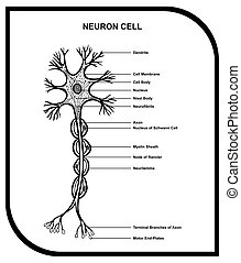 zelle, koerperbau, neuron, diagramm, menschliche