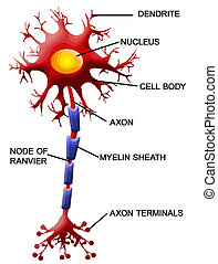 zelle, neuron