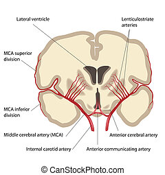 zerebral, mitte, arterie, eps8