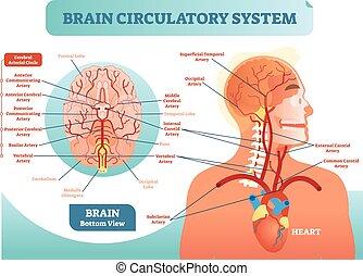 zirkulierend, diagram., vernetzung, zerebral, scheme., system, abbildung, anatomisch, gehirn, vektor, blut, menschliche , medizinprodukt, information., gefäß