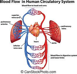 zirkulierend, fließen, system, menschliche , blut