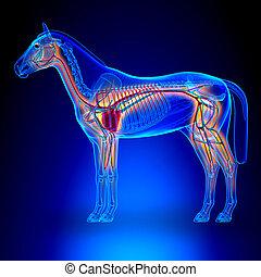 zirkulierend, herz, pferd, blaues, -, system, koerperbau, hintergrund, equus