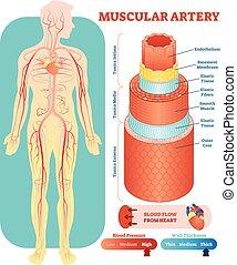 zirkulierend, section., erzieherisch, medizinisches system, abbildung, kreuz, diagramm, vektor, muskulös, gefäß, arterie, anatomisch, information., scheme., blut