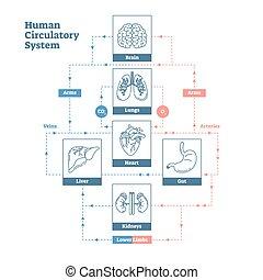 zirkulierend, stil, menschliche , grobdarstellung, plakat, medizinisches system, abbildung, diagramm, vektor, blut, sauber, infographic., scheme., gefäße