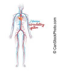 zirkulierend, system., gefäße, blut, menschliche , begrifflich, scheme.