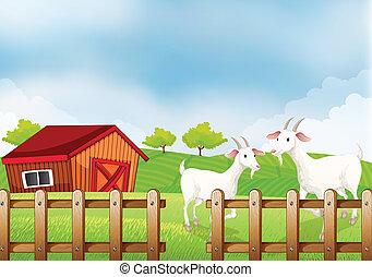 Zwei weiße Ziegen auf der Farm