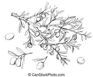 zweig, baum, groß, abbildung, beeren, olive