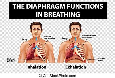 zwerchfell, atmen, durchsichtig, ausstellung, hintergrund, diagramm, funktionen