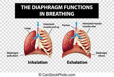 zwerchfell, diagramm, durchsichtig, atmen, funktionen, ausstellung, hintergrund